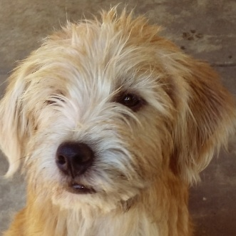 wheaten terrier golden retriever mix karmic connections animal rescue dogs for adoption 3939